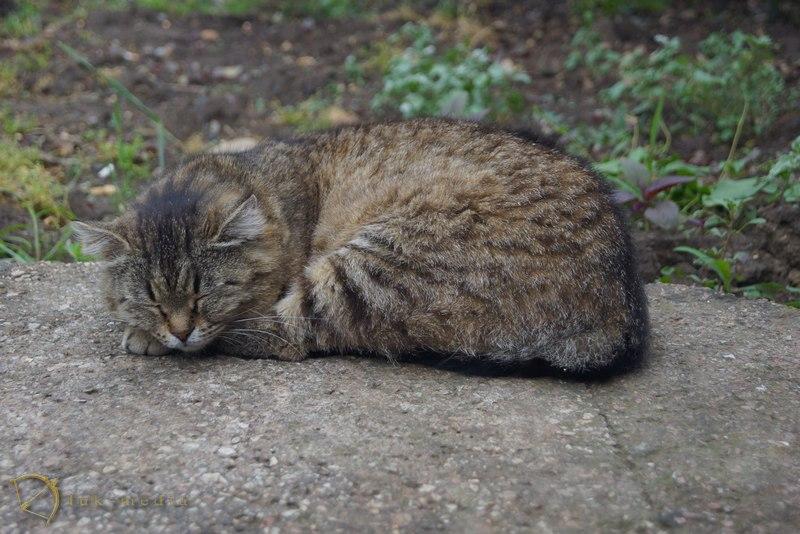 коты крыма