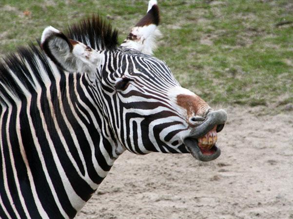 пазлы для детей онлайн зебра