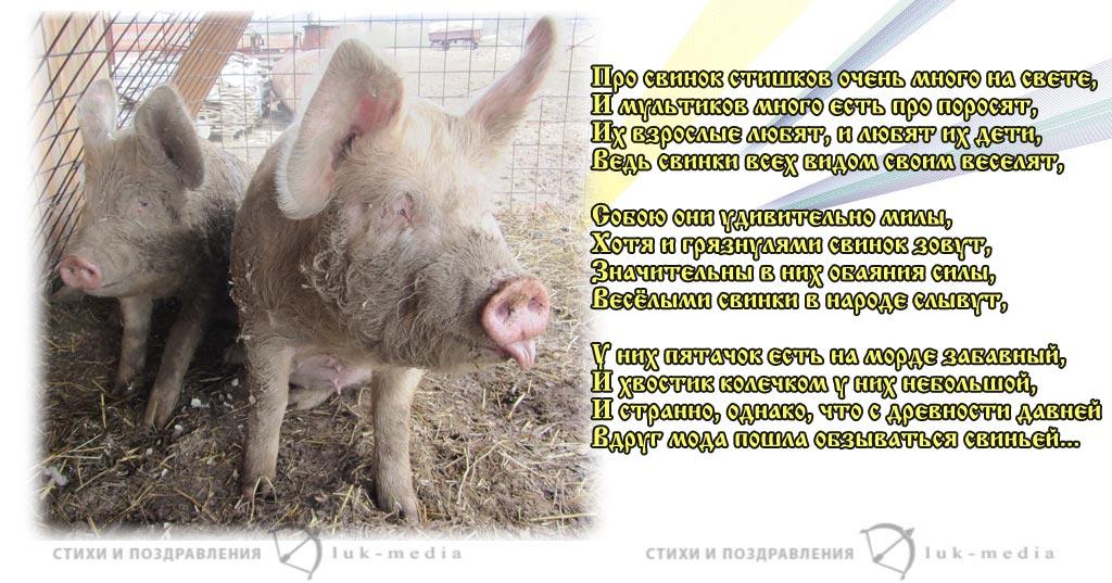 стихи про свинок