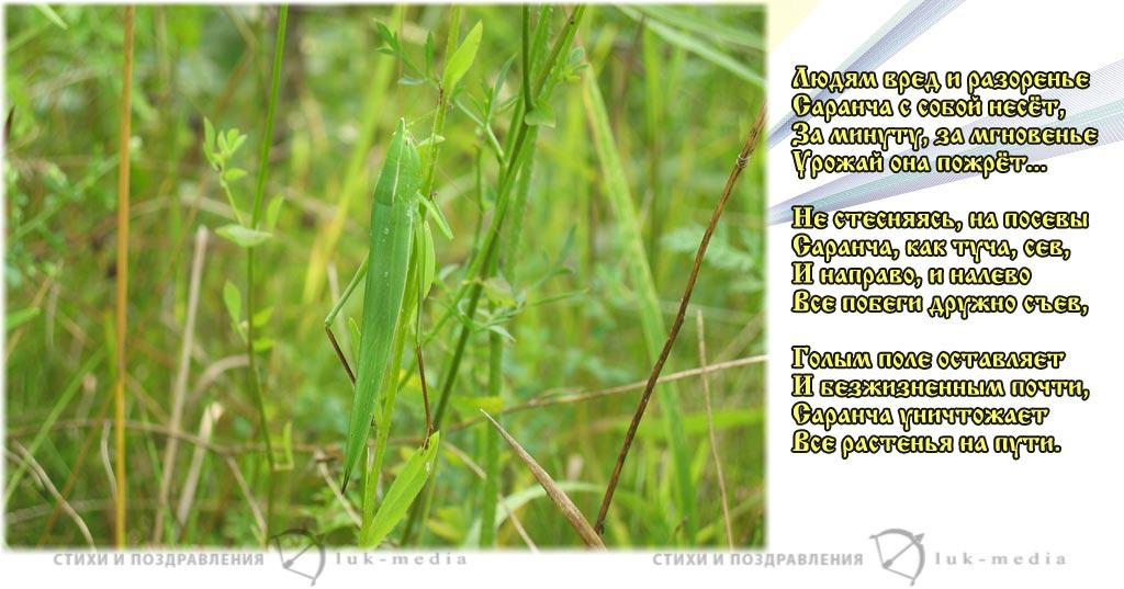 стихи про саранчу