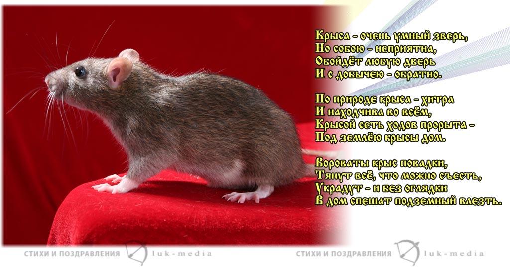 стихи про крыс