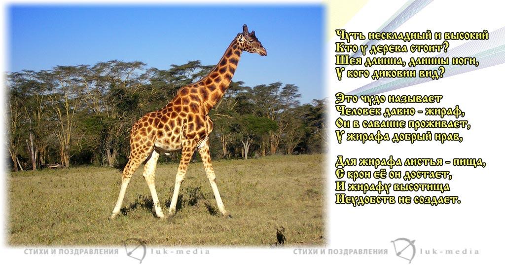 стихи про жирафа
