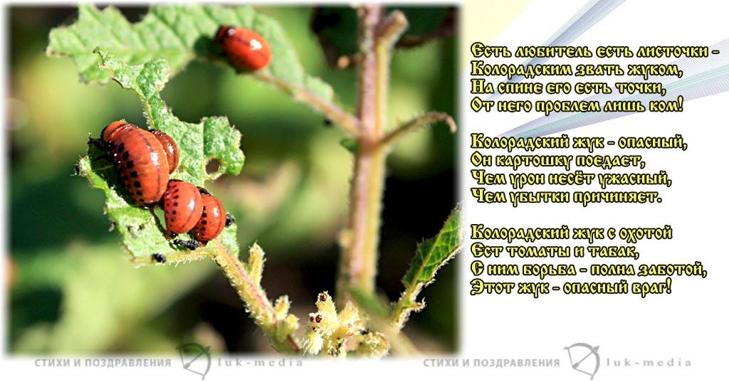 стихи про колорадского жука