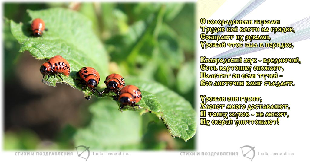 стихи о колорадском жуке