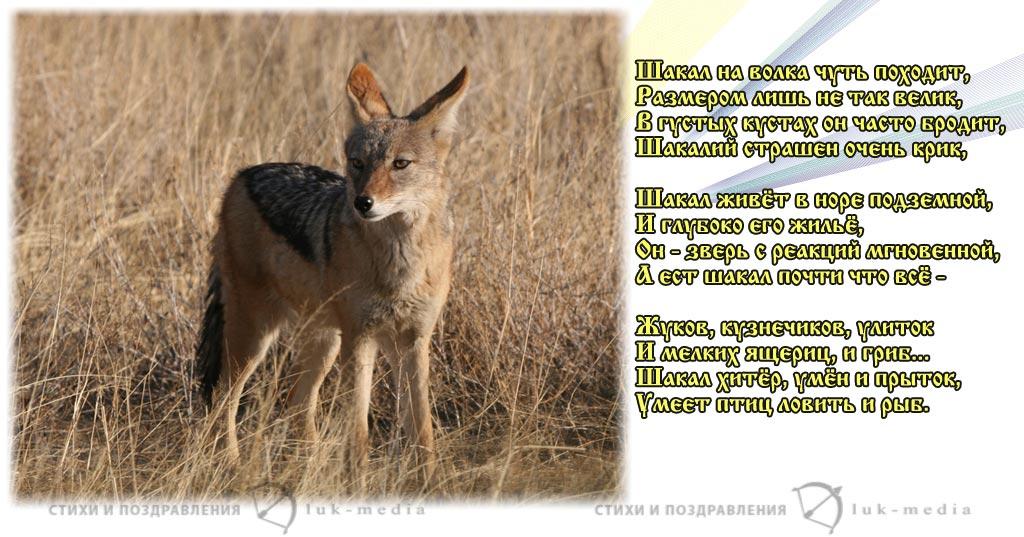 стихи про шакалов